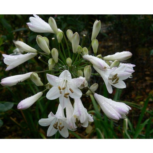 Bloemen-flowers Agapanthus praecox - Afrikaanse lelie