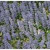 Bloemen-flowers Ajuga reptans Atropurpurea - Zennegroen