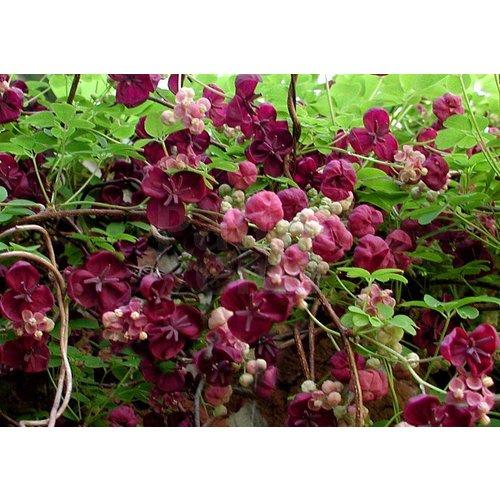 Bloemen-flowers Akebia quinata - Schijnaugurk