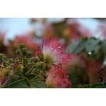 Bloemen-flowers Albizia julibrissin - Perzische Slaapboom - Zijdeboom