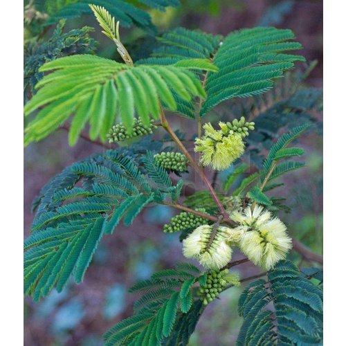 Bloemen-flowers Albizia lophantha - Paraserianthes lophantha