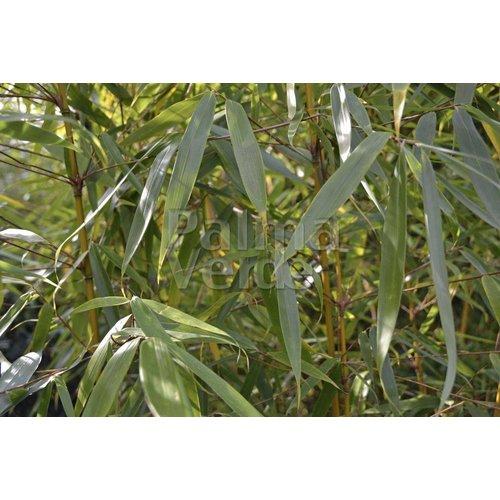 Bamboe-bamboo Fargesia robusta Wolong
