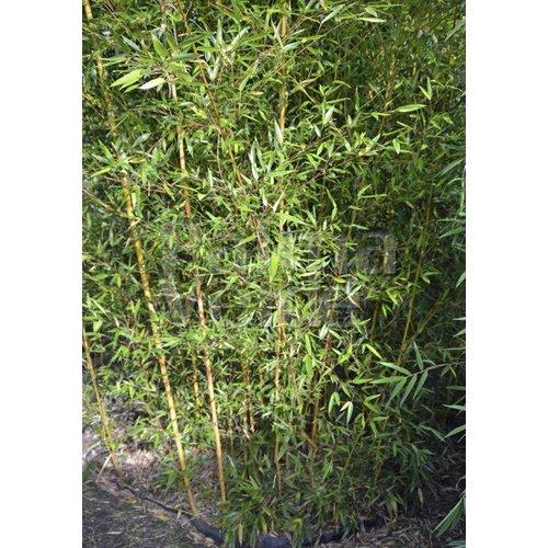 Bamboe-bamboo Phyllostachys aureosulcata Aureocaulis