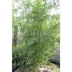 Bamboe-bamboo Phyllostachys atrovaginata - Phyllostachys congesta
