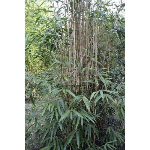 Bamboe-bamboo Pseudosasa japonica