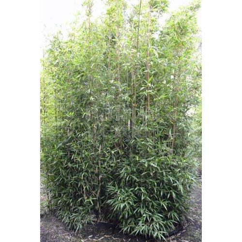 Bamboe-bamboo Semiarundinaria fastuosa