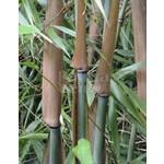 Bamboe-bamboo Fargesia scabrida - Asian Wonder