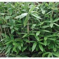 Bamboe-bamboo Sasa palmata Nebulosa