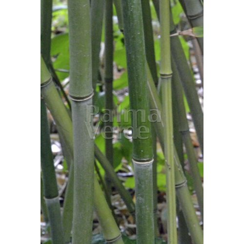 Bamboe-bamboo Phyllostachys bissetii