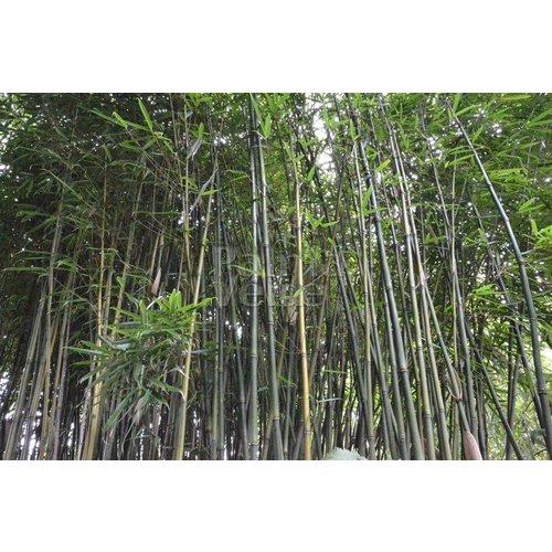 Bamboe-bamboo Fargesia robusta Pingwu