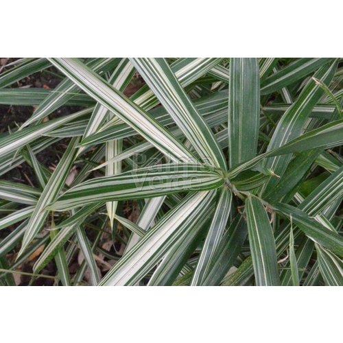 Bamboe-bamboo Pleioblastus fortunei Variegatus