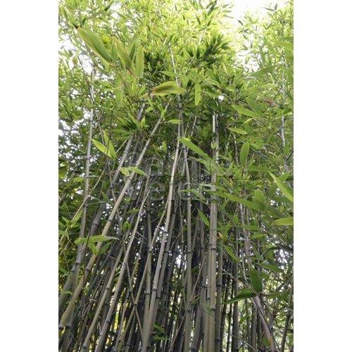 Bamboe-bamboo Phyllostachys nigra Henonis