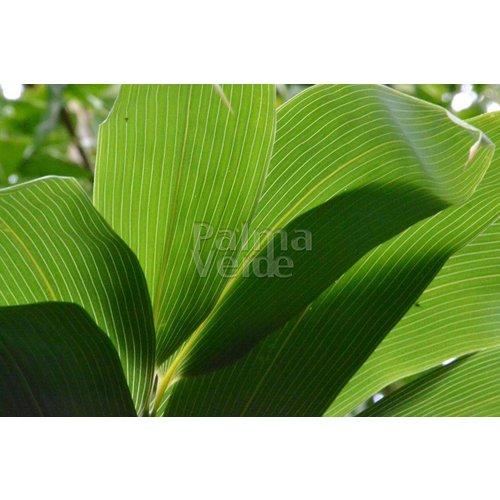 Bamboe-bamboo Sasa kurilensis