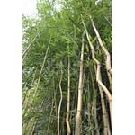 Bamboe-bamboo Phyllostachys aureosulcata Spectabilis