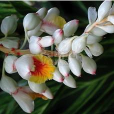 Bloemen-flowers Alpinia zerumbet Variegata - Gember