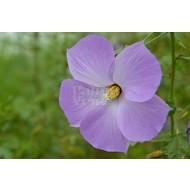 Bloemen-flowers Alyogyne huegelii