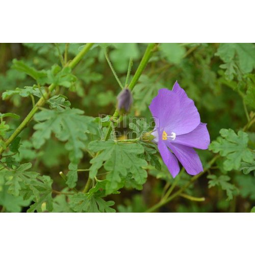 Bloemen-flowers Alyogyne huegelii - Blauwe malva