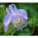 Bloemen-flowers Aquilegia flabellata Mini Star - Akelei
