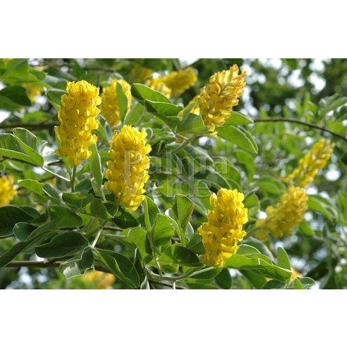 Bloemen-flowers Argyrocytisus battandieri - Marokkaanse boombrem
