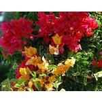 Bloemen-flowers Bougainvillea buttiana Hybriden