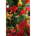 Bloemen-flowers Bougainvillea buttiana Hybrids