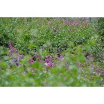 Bloemen-flowers Bougainvillea glabra