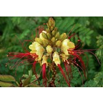 Bloemen-flowers Caesalpinia gilliesii - Paradijsvogelstruik