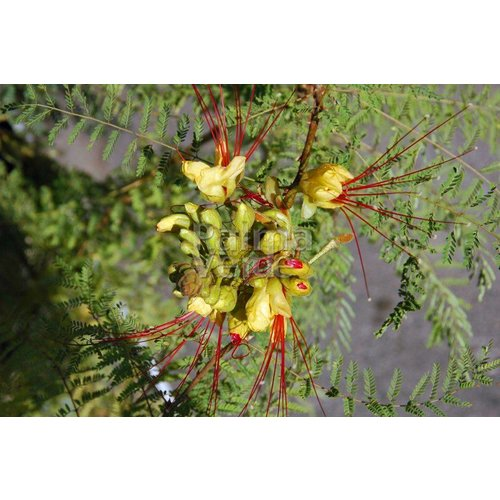Bloemen-flowers Caesalpinia gilliesii