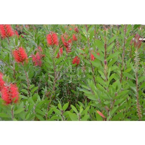 Bloemen-flowers Callistemon citrinus Splendens - Lampenpoetser