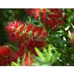 Bloemen-flowers Callistemon citrinus Splendens
