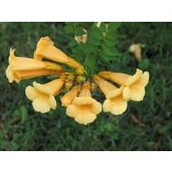 Bloemen-flowers Campsis radicans Flava - Trompetbloem - Trompetklimmer