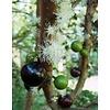 Eetbare tuin-edible garden Myrciaria cauliflora - Jabuticaba - Guapuru - Brazilian grape tree