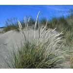 Siergrassen-ornamental grasses Ammophilla arenaria - Helmgras