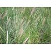 Siergrassen-ornamental grasses Ammophilla arenaria