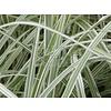 Siergrassen-ornamental grasses Arrhenatherum bulbosum Variegatum - Glanshaver - Frans raaigras - Knolhaver