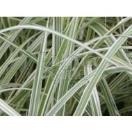 Siergrassen-ornamental grasses Arrhenatherum bulbosum Variegatum