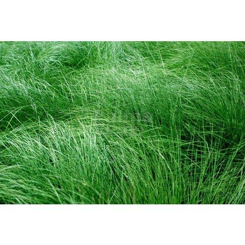 Siergrassen-ornamental grasses Briza media - Trilgras - Bevertje