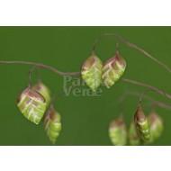Siergrassen-ornamental grasses Briza media