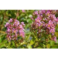 Bloemen-flowers Lagerstoemia indica