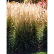Siergrassen-ornamental grasses Calamagrostis x acutiflora Karl Foerster - Struisriet
