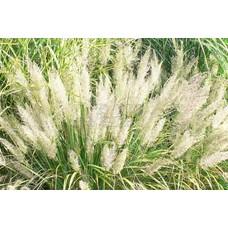 Siergrassen-ornamental grasses Calamagrostis brachytricha - Diamantgras