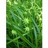 Siergrassen-ornamental grasses Carex grayi - Morgensterzegge