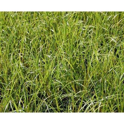 Siergrassen-ornamental grasses Carex howardii Phoenix Green
