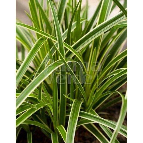 Siergrassen-ornamental grasses Carex morrowii Ice Dance