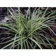 Siergrassen-ornamental grasses Carex morrowii Variegata - Zegge