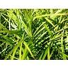 Siergrassen-ornamental grasses Carex muskingumensis - Palm zegge