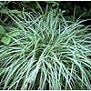 Siergrassen-ornamental grasses Carex ornithopoda Silver Sceptre - Zegge