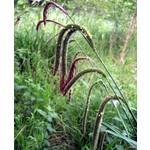 Siergrassen-ornamental grasses Carex pendula - Hangende zegge - Reuzenzegge
