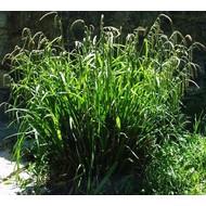 Siergrassen-ornamental grasses Carex pendula - Hanging sedge - Giant Sedge
