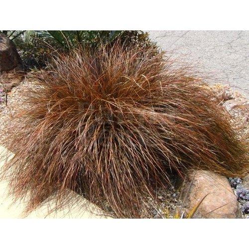 Siergrassen-ornamental grasses Carex secta var. tenuiculmis
